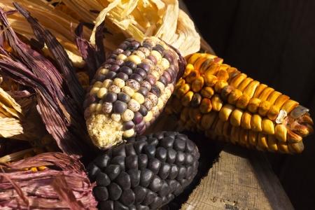sundried: purple-yellow sun-dried corncobs