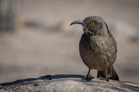 Grey Thrasher Stock Photo