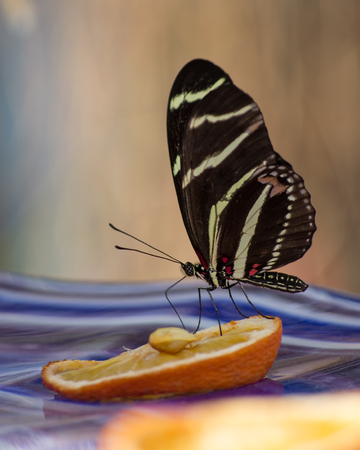 Butterfly Drinking on an Orange Stock Photo