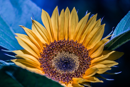Sunflower Blue Background