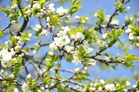 flowering plum on the blue sky photo