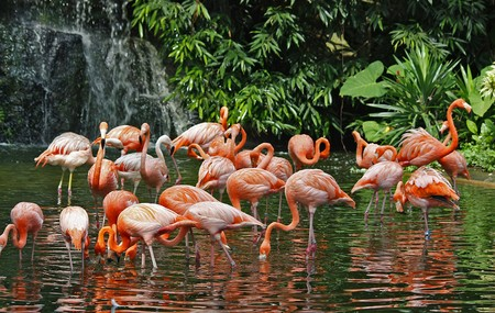 Flock of flamingos feeding in front of a waterfall