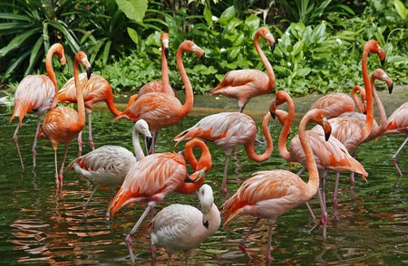 A close up shot of a flock of pink flamingos walking in a lake