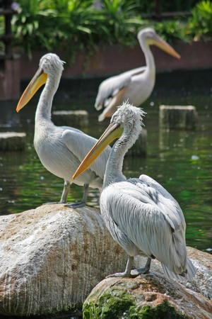 3 pelicans resting on rocks and logs in a lake
