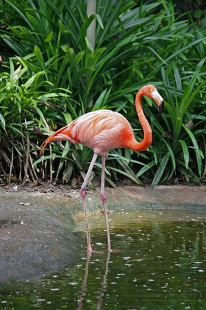 Side view of a pink flamingo standing in shallow water