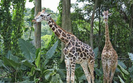 A pair of giraffe