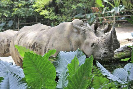 Rhinos in captivity