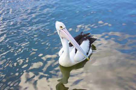 Wild pelican zwemmen op een meer