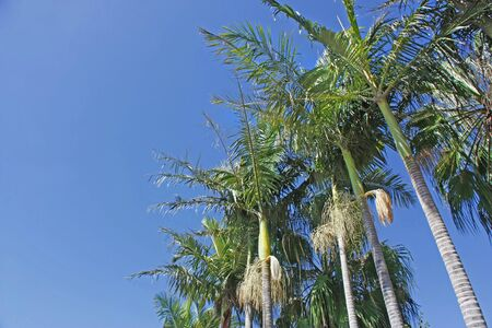 Coconut tree lined up against the sky