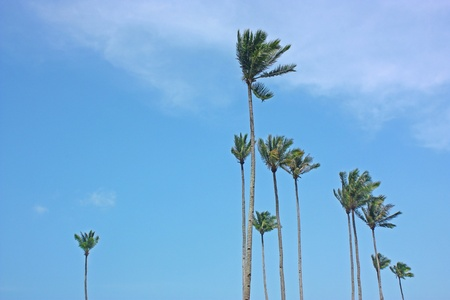 Wind blown tall coconut trees against a blue clear sky