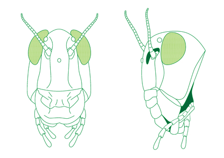 Front and side view of grasshopper head vector diagram