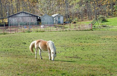 A beautiful honey colored horse grazes in the pasture