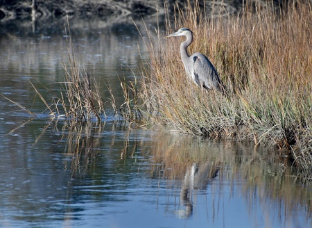 Great Blue Heron Stock Photo - 12379503