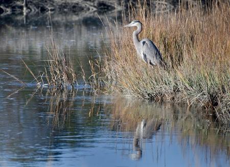 marshland: Great Blue Heron Stock Photo