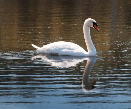 aves: A gorgeous large swan treads the fresh water of Myrtle beach, South Carolina. Stock Photo
