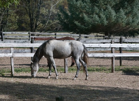 dapple grey: A dapple grey horse grazes in an upstate New York coral.