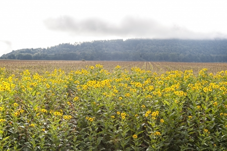 Black-eyed Susans and cornfields on a misty morning in Schoharie County, New York  Stock Photo - 19007448