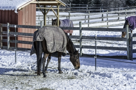 morsels: Horses, covered in their winter blankets,  search for morsels in their snowy corrals  Stock Photo