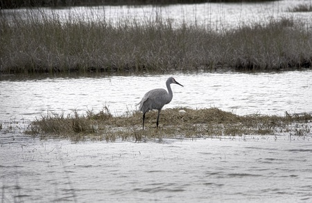 sandhill crane: A sandhill crane searches for food near its nest and egg