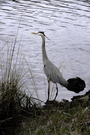 great blue heron: A Great Blue Heron keeps a look out near Brooksville, Florida Stock Photo