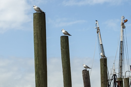 shrimp boat: Sea gulls occupy pilings on the shrimp boat docks in McClellanville, South Carolina