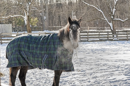 blanketed: A blanketed horse munches on hay and shows his breath near Ballston Spa, New York
