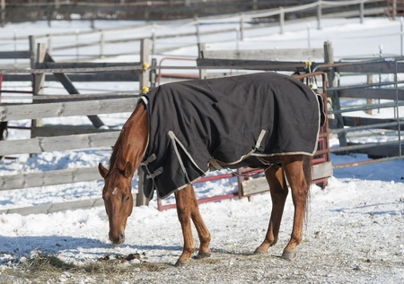 blanket horse: A horse wears his turnout blanket in the frigid weather near Ballston Spa, New York  Stock Photo