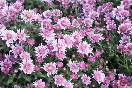 Colorful pink and purple Dianthus
