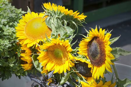 Sunflowers aglow in the late afternoon sun Imagens