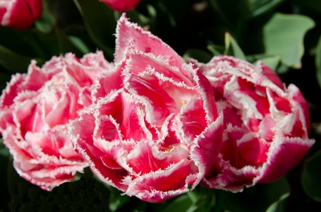 frilled: Stunning pink fancy frilled tulips
