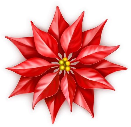 flor de pascua: Euphorbia pulcherrima vector, flor de estrella de Navidad