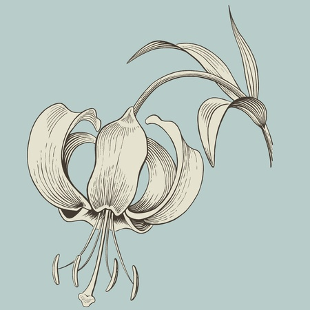 vector lily flower engraving or ink drawing vintage