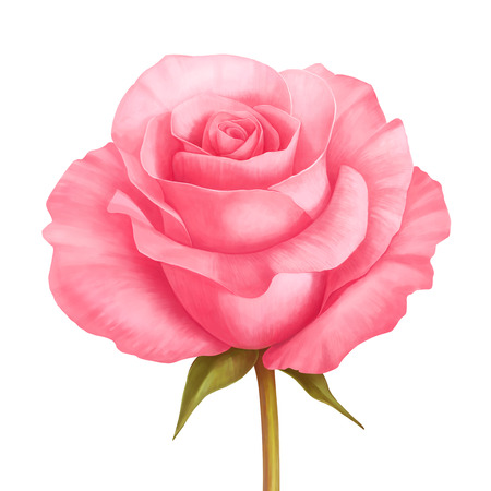 Vector rose pink flower decorative illustration isolated on white background
