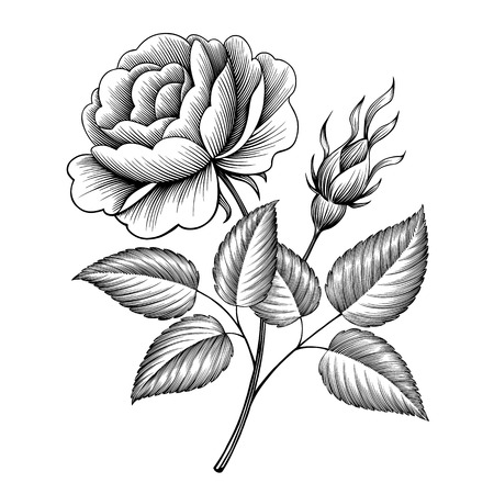 vintage rose flower engraving calligraphic Victorian style tattoo botanical vector illustration