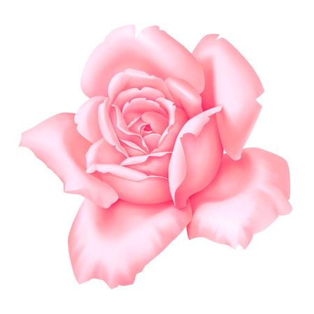 Rose pink flower decorative vintage illustration isolated on white background