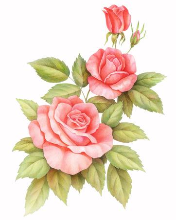 분홍색 빨간색 빈티지 장미 꽃 흰색 배경에 고립입니다. 컬러 연필 수채화 그림.
