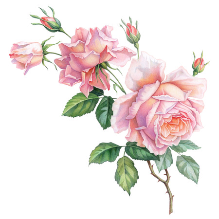 Pink white vintage roses  flowers isolated on white background. Colored pencil watercolor illustration.