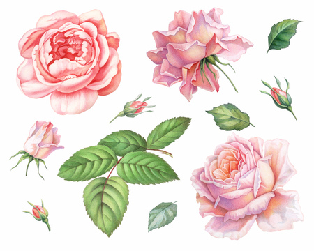 Pink white vintage roses  flowers isolated on white background. Colored pencil watercolor illustration. Stok Fotoğraf - 111335361