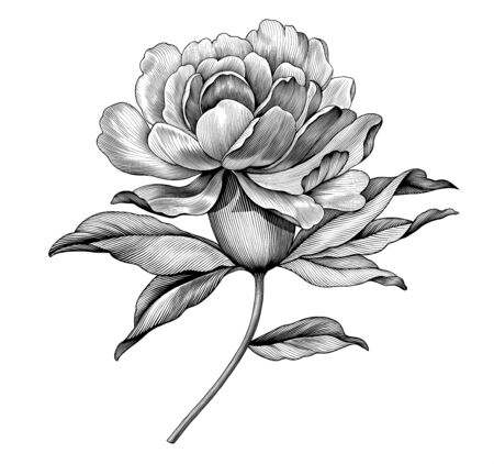 Peony rose flower vintage black and white botanical Victorian illustration. Engraved vector floral retro pattern botany bloom. Filigree design Baroque tattoo. Romantic spring blossom japanese scroll Illusztráció