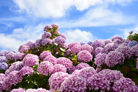 pink purple hydrangea bush against a blue sky