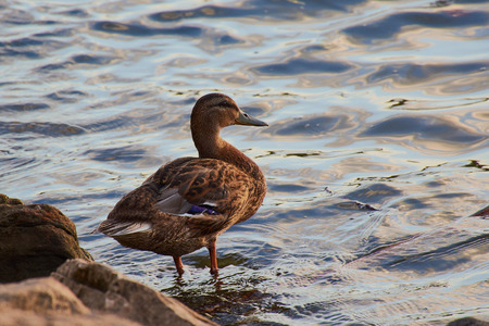 Duck is standing and watching the river Rhine in Mainz Stock Photo