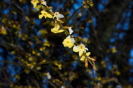 Forsythia branch in the evening light in the foreground