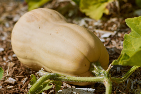 Butternut squash grows in the field