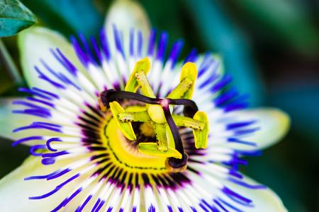 close up macro photo of the common passion flower, Passiflora caerulea
