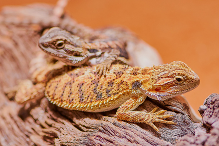 macro of two bearded dragons in the terrarium Фото со стока