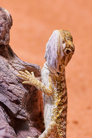 young male bearded dragon hanging on a branch in its terrarium, vertical macro photo Stockfoto
