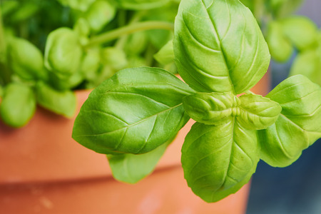 close up color photo on fresh green basil in a plant pot 写真素材 - 122171447