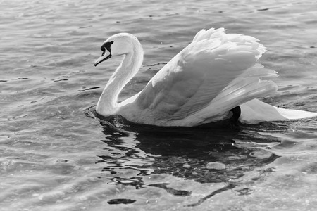 black and white photo of a mute swan swimming in the river rhine in Germany