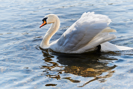 color photo of a white mute swan is swimming in the river rhine in Germany
