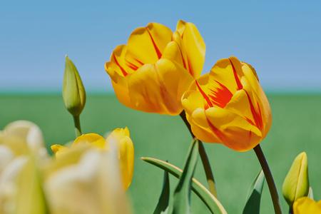 yellow tulips against blue sky on a sunny day Reklamní fotografie